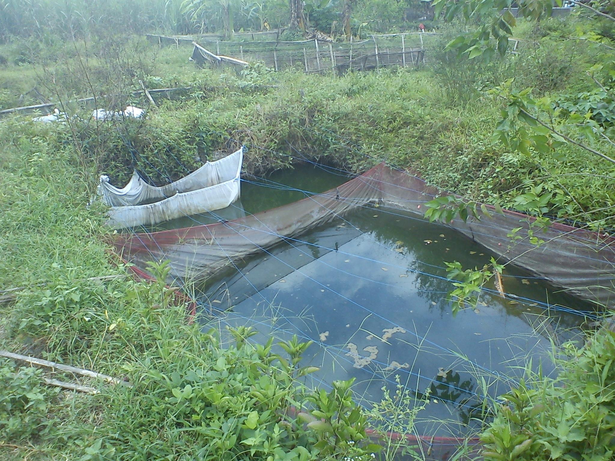 kolam benih ikan bawal