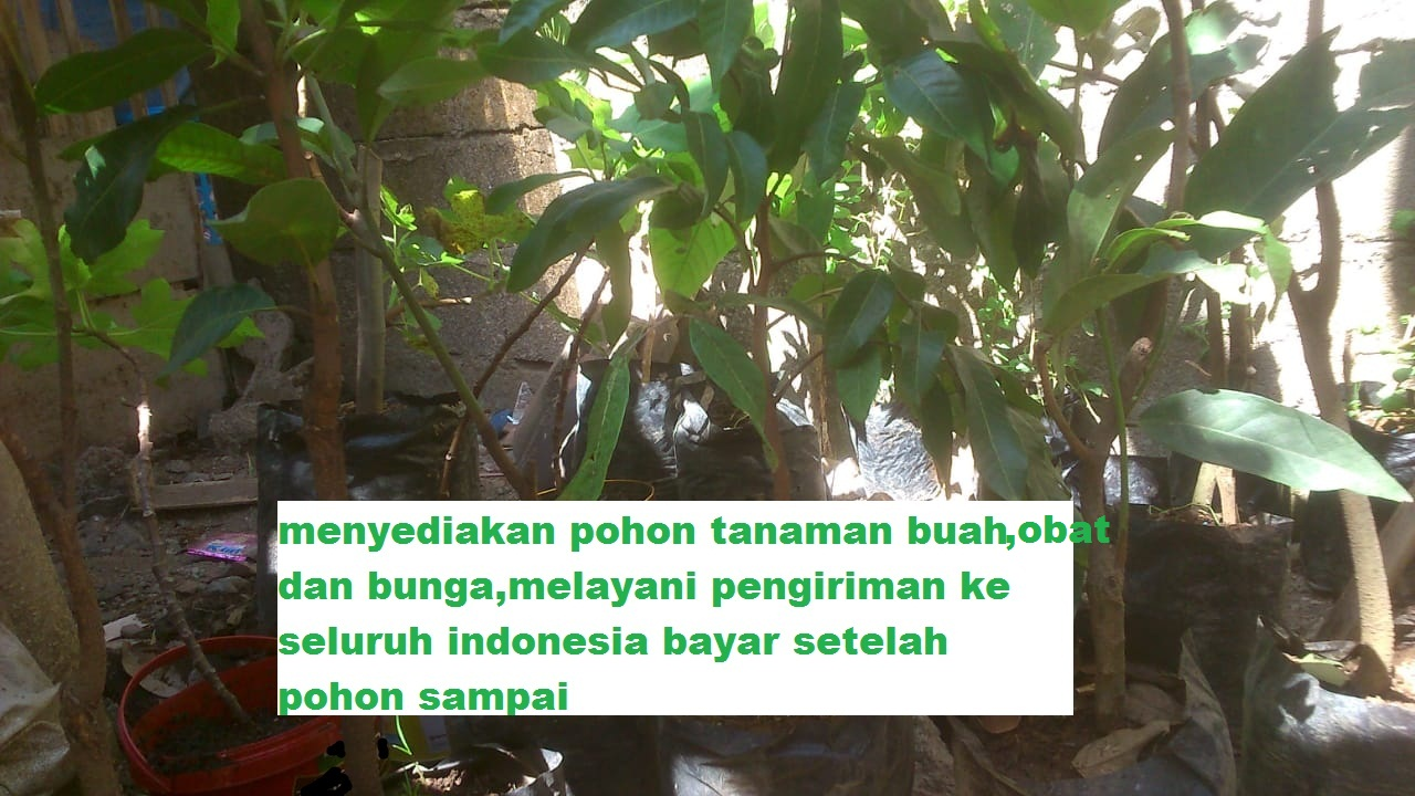 tanaman obat,bunga dan buah bayar setelah pohon sampai