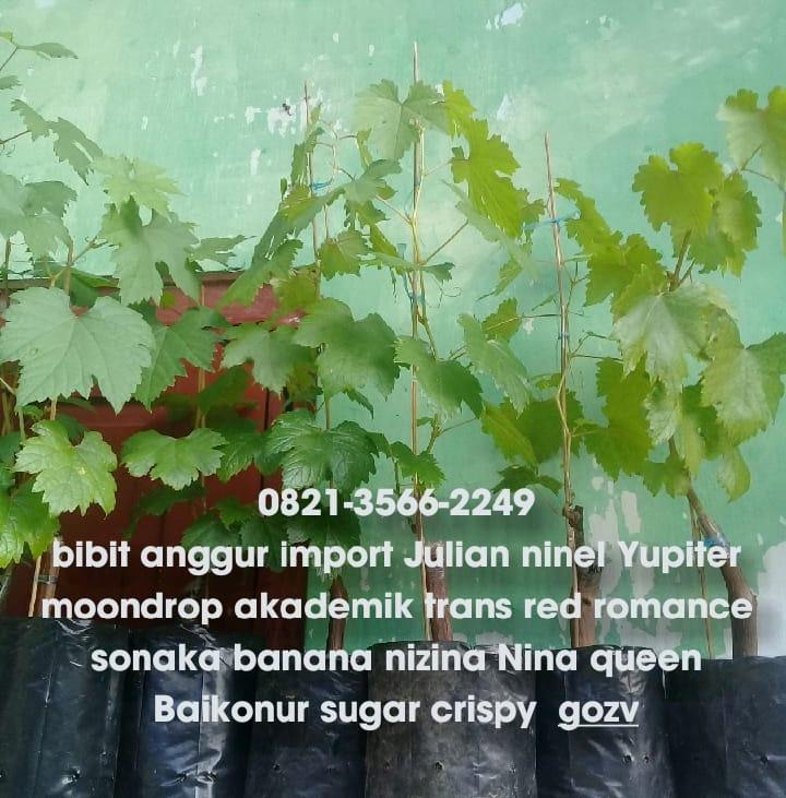bibit anggur import julian ninel yupiter trans mondrop red romance sonaka banana baikonur gozv